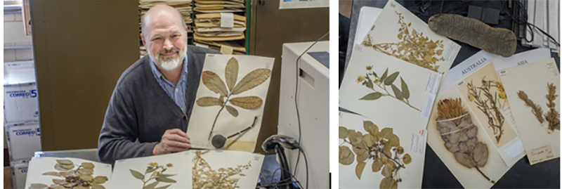 Mike Vincent, curator of the Willard Sherman Turrell Herbarium in Upham Hall. At right, several dried plant specimens from the collection (all herbarium photos by Scott Kissell).