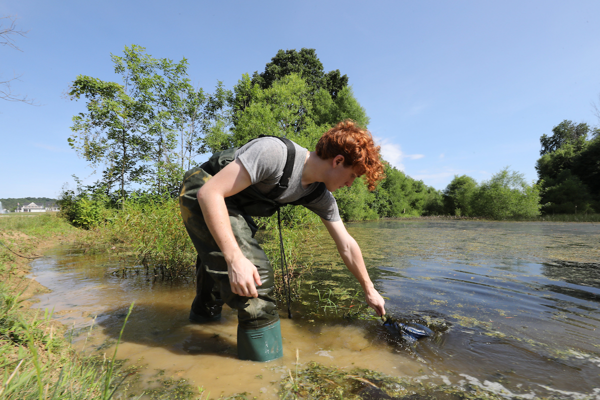 Miami sophomore zoology major Ty Cooley searches for amphibians at Shaker Trace Wetlands in Harrison, Ohio