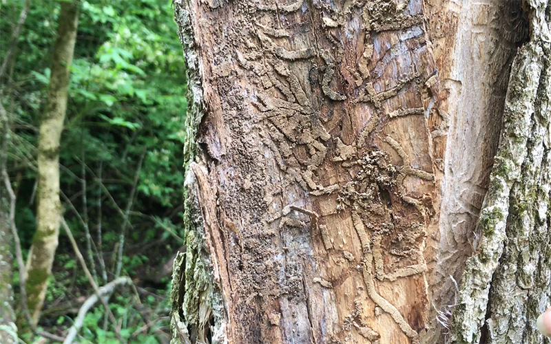 damage to the inside of an ash tree by emerald ash borer