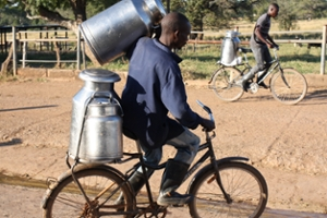 Boys on bikes in Africa carrying milk