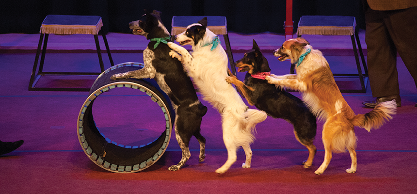 Dogs walking on their hind legs and resting against each others backs push a large cylinder across stage