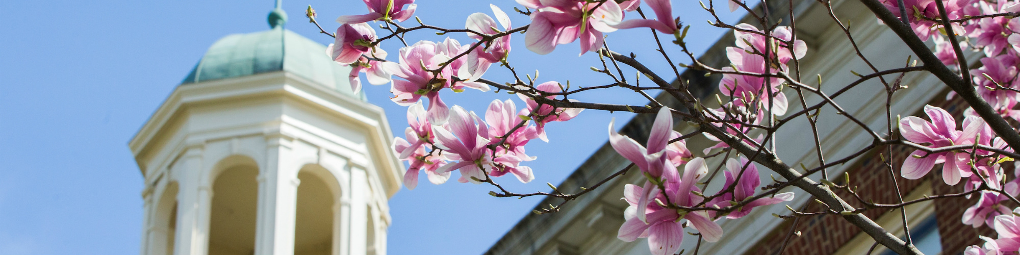Pink flowers on tree branch in front of cupola of building